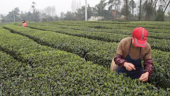 蒙頂山茶畑