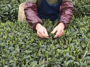 蒙頂山 茶業訪問