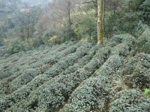 蒙頂山茶区