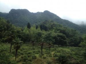 福建省武夷山桐木の正山小種紅茶の茶畑